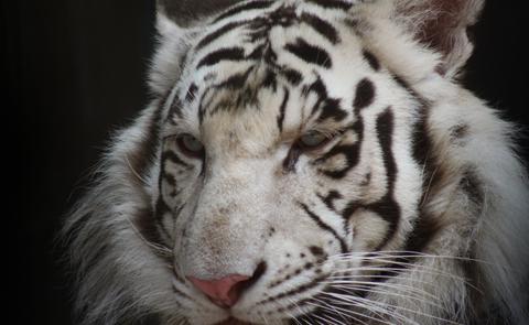 Vit tiger. Foto: Heidi Confer.